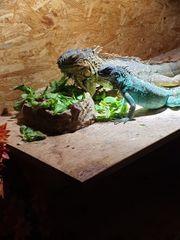 Grüne Leguan Pärchen abzugeben