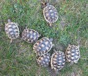 Breitrandschildkröten NZ 2018