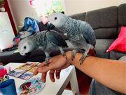 2 Graupapageien Erwin und Coco