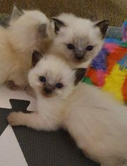 Wunderschöne Siam Birma Kitten