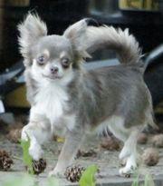 Mini Chihuahua Hündin lilac tan