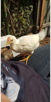 junger Hahn zu verschenken