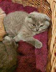 BKH Kätzchen suchen neues liebevolles