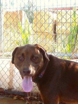 Hunde - BROWNIE Labrador Mischling - sein starker