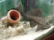 Wels Wasserschildkröte Aquarium komplett viel