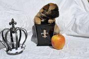 Rassetypische Französische Bulldoggen