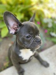 Französische Bulldogge Welpen bereit