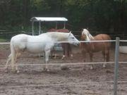 Stallhilfe Pferdepfleger gesucht