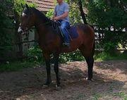 Ungarisches sportpferd