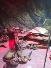 2 Leopardgeckos