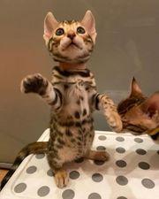 Reinrassige Bengal Kitten Abzugeben