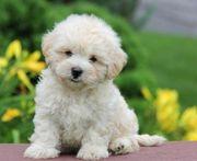 Hunde Die Nicht Haaren Tiermarkt Tiere Kaufen Quokade