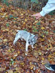 Französische Bulldogge Blue Merle Pied