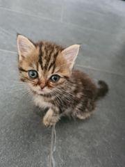 Ganz süsse BKH-Kitten
