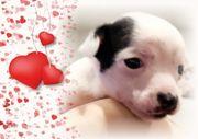 Vor Reserviert Chihuahua Welpe Anika