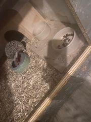 Afrikanischer Weißbauchigel mit Zubehör