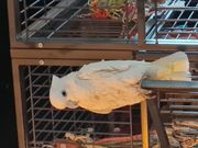 Ich suche ein Salomon Kakadu