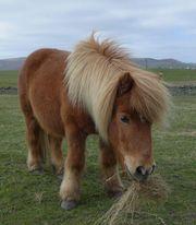 Pflegebeteiligung an Shetty Pony gesucht