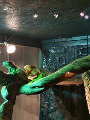 Iguana Iguana Grün