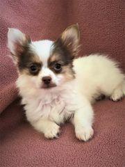 Bezaubernde Chihuahua Welpen