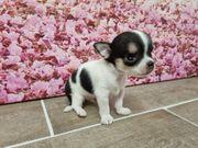 Mini XS Chihuahua Welpe sucht