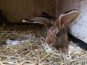 Junge zahme große Kaninchen