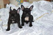 2 Französische Bulldoggen Schocko