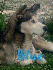 Blue Rüde aus dem Tierschutz