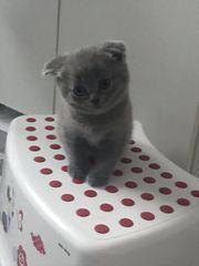 Süße BKH Kitten blue