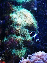 Briareum Koralle