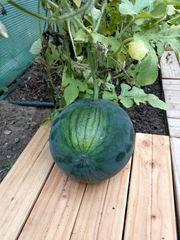 Wassermelone Samen sehr seltene Sorte
