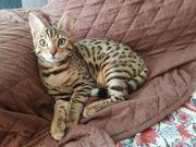 Bengalkatzen Bengal Kitten
