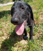 Labrador Mischlingsrüde