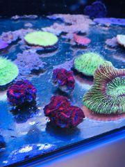 Meerwasser Acans lila rot Ableger