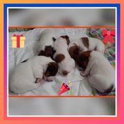 Jack Russel Terrier Welpen reinrassige
