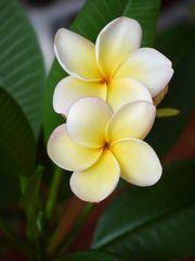 Blühende Thaischönheit duftende Frangipani