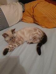bengal snow marble kitte