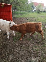 2 Galloway Kühe