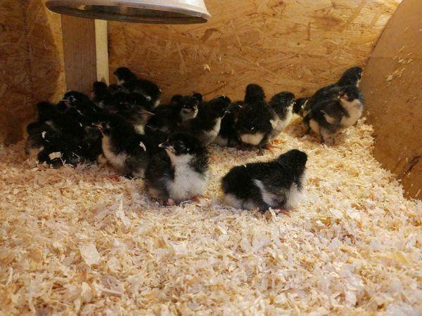 Küken Hühner Huhn Australorps