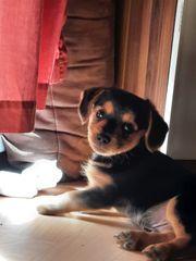 Yorkshire Terrier mix Welpe