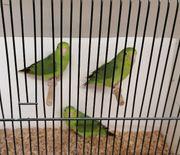 Blaugenick Sperlingspapageien Hennen abzugeben