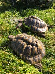 Griechische Landschildkröten adult männlich