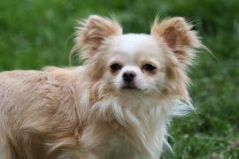 Chihuahua Welpen mit Ahnentafel: Kleinanzeigen aus Klausen - Rubrik Hunde