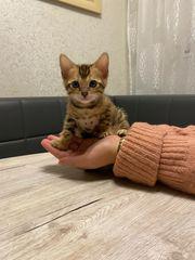 Wunderschönes Bengal Kitten Reserviert