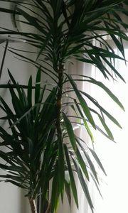 Yucca Palme 2 5 m