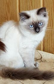 Süsses Ragdoll Katerchen Kitten