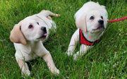 Labrador rüden welpen