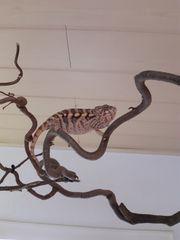 Panther Chamäleon weibchen ambiole