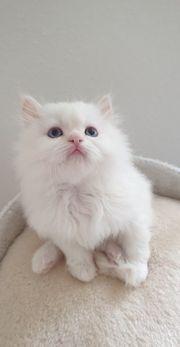 reinrassige Perser Baby