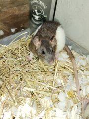 Ratten Mädels geb 13 06